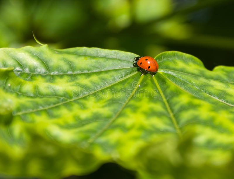 Download Ladybird Stock Photography - Image: 11971552