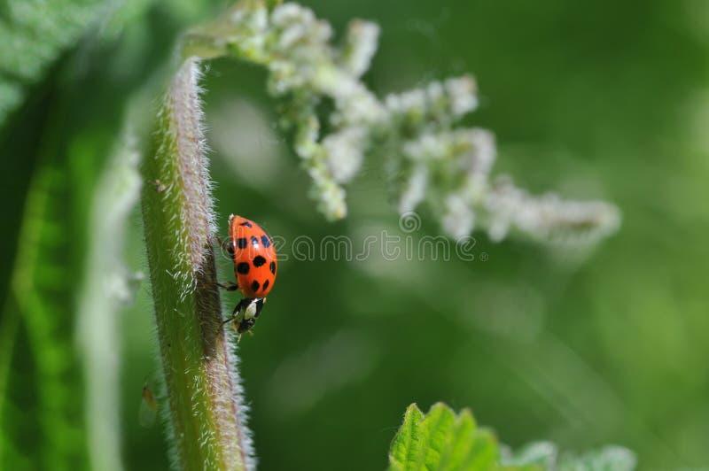 Download Ladybird Royalty Free Stock Image - Image: 13111576