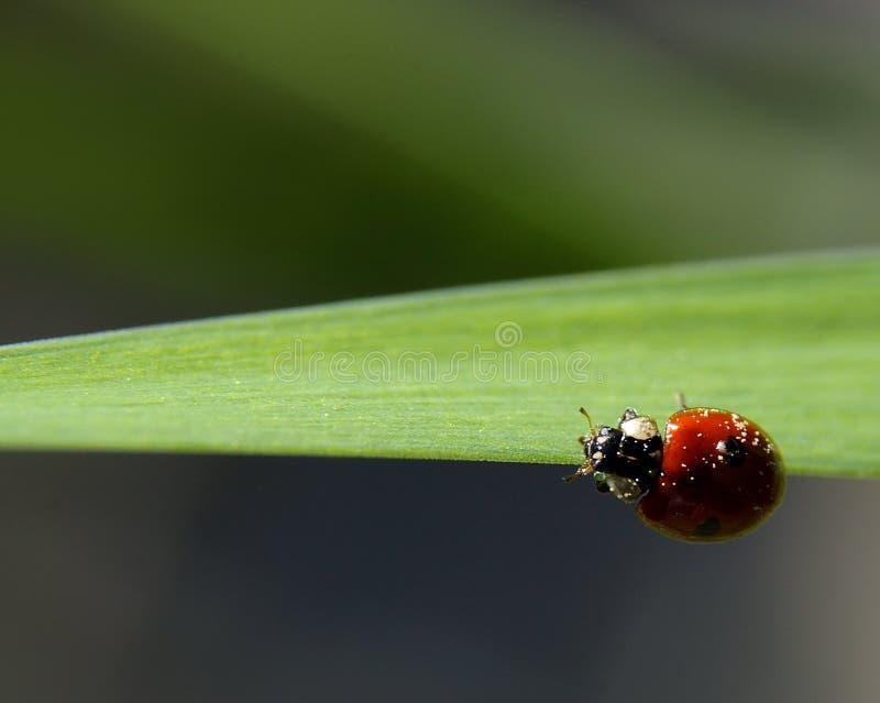 Ladybird. Tiny Ladybird on a leaf stock photos