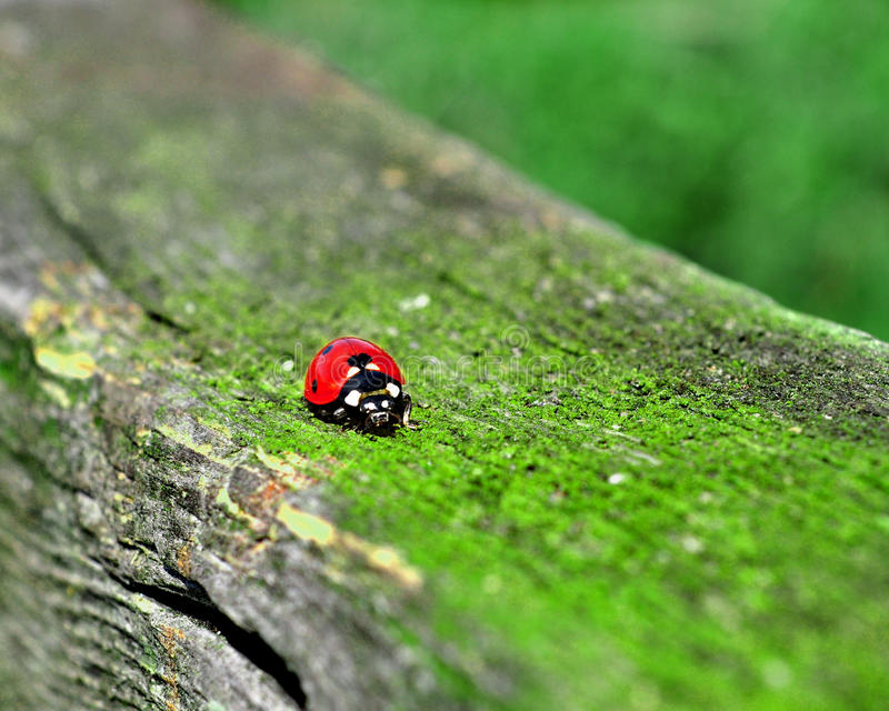 Download Ladybird stock photo. Image of orange, moss, summer, green - 14734166