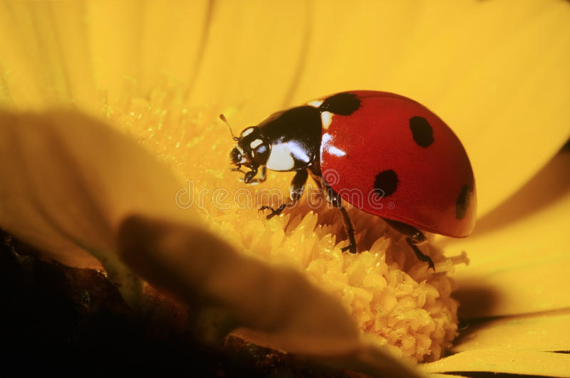 ladybird obrazy stock