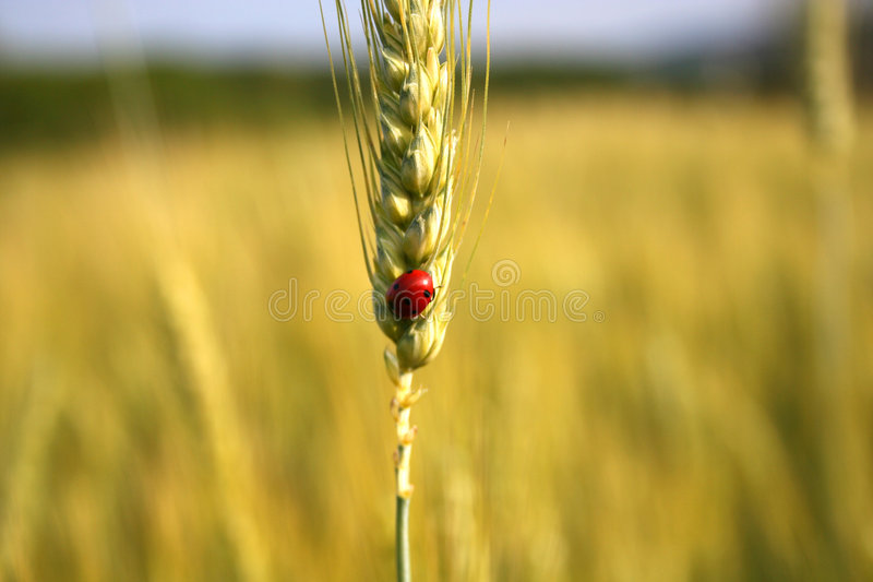 Download Ladybird stock photo. Image of flora, grain, corn, grass - 206458