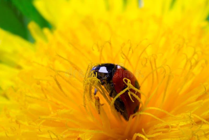Download Ladybird stock photo. Image of bloom, closeup, flower - 24560682