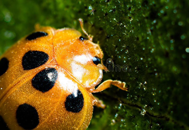 Ladybird. Photo of insect, we call it ladybird stock photos