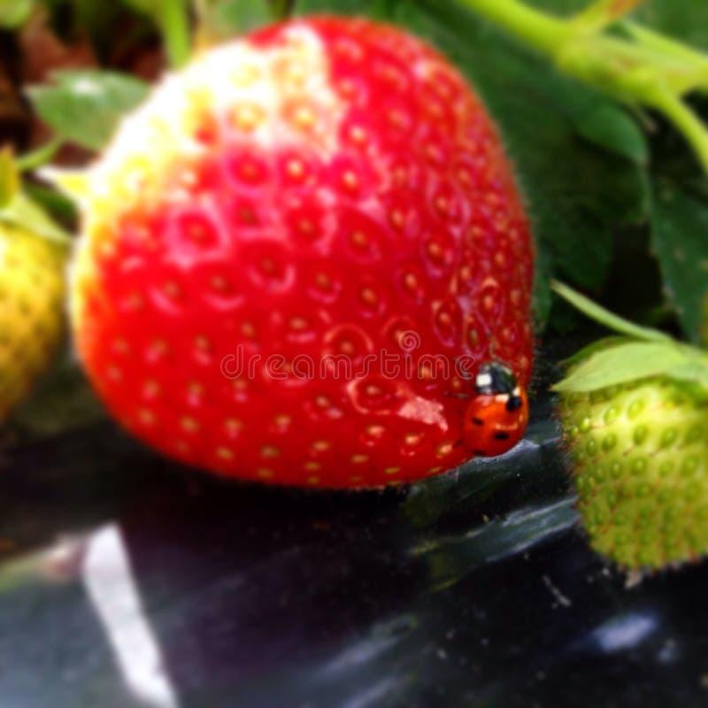 ladybird lizenzfreie stockfotografie