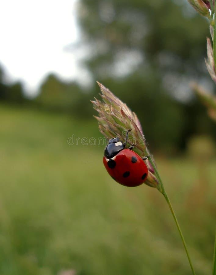 ladybird zdjęcia royalty free