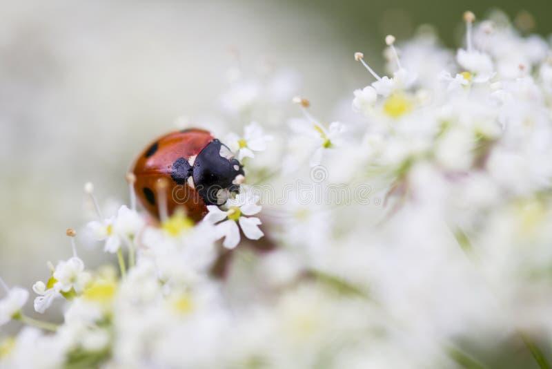 ladybird foto de archivo libre de regalías