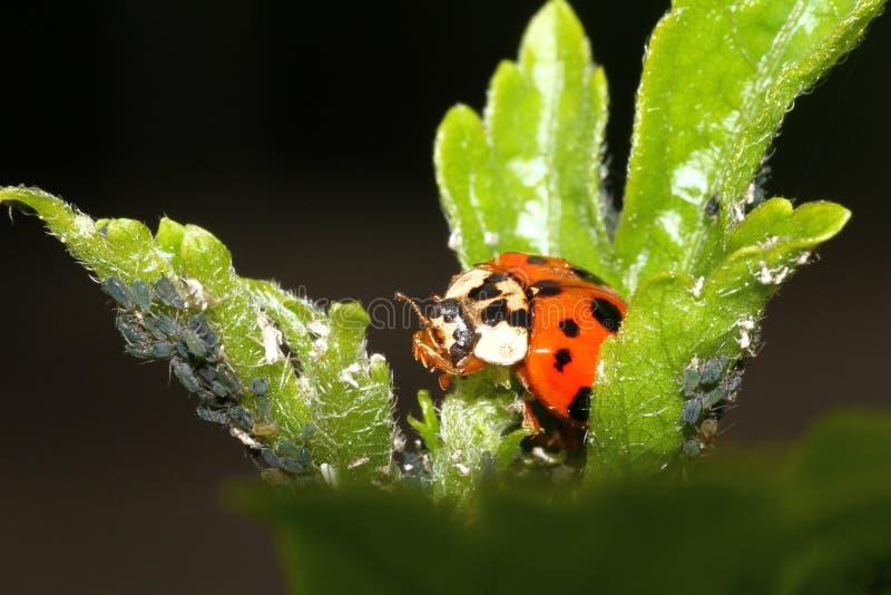 ladybird immagine stock libera da diritti