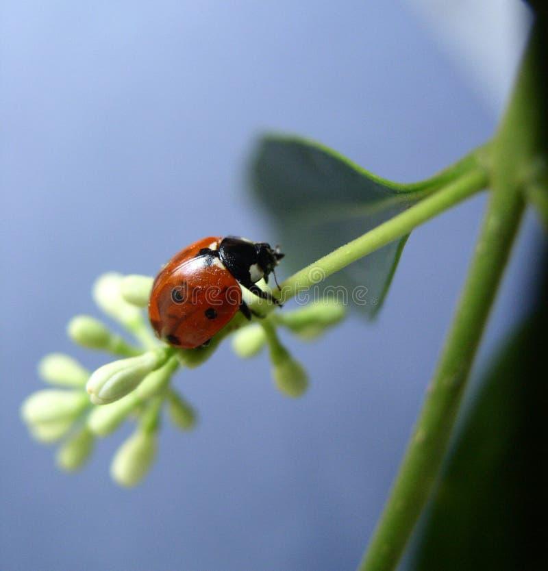 Download Ladybird stock image. Image of creatures, nature, crawlies - 62141
