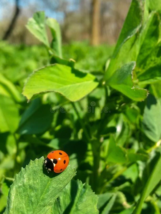 ladybird foto de stock