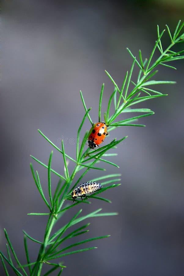 ladybird lizenzfreie stockbilder