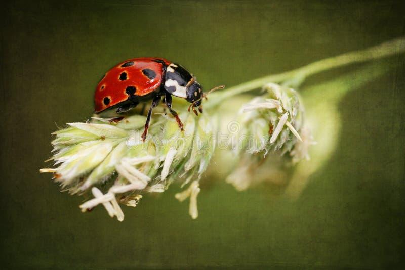 Download Ladybird On Antique Grunge Textured Background Stock Photo - Image: 18920516