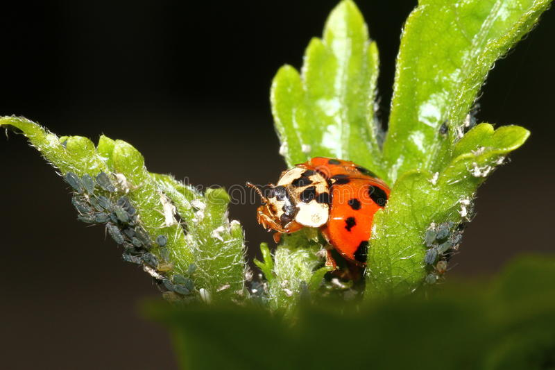 Download Ladybird stock photo. Image of nature, helpful, attacking - 54408416