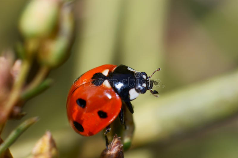 Ladybird beetles royalty free stock images