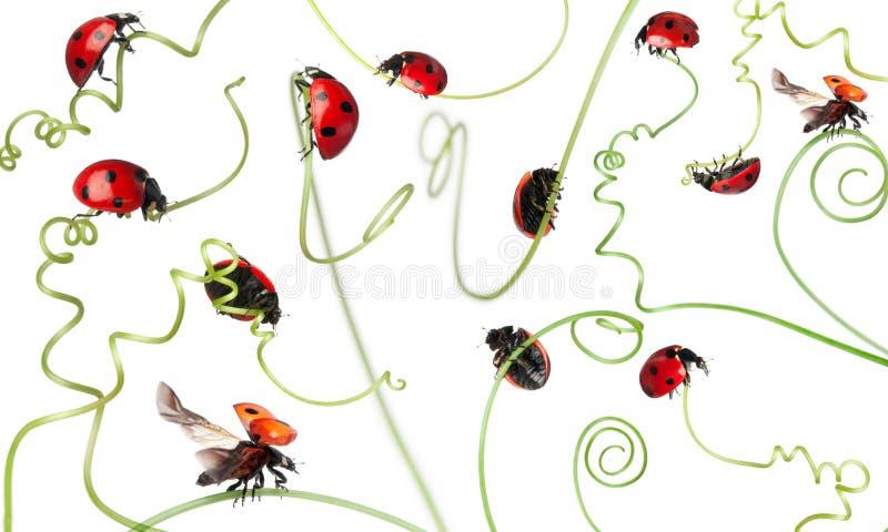 ladybird biedronki siedem punkt ilustracja wektor