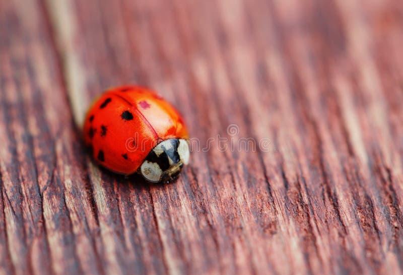 Ladybird on brown wood stock photos