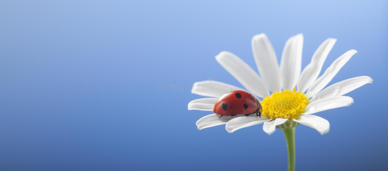 Download Ladybird On Camomile Flower Stock Photo - Image of beauty, flower: 113616900