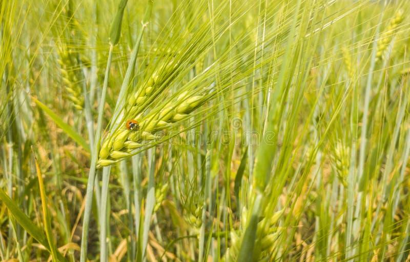 Ladybird che si siede sull'orecchio di orzo in un campo di grano immagini stock libere da diritti