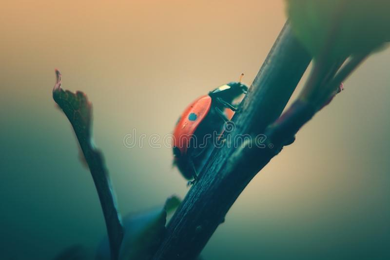 Ladybird climbing up a tree. Ladybird climing a tree branch macro view royalty free stock images