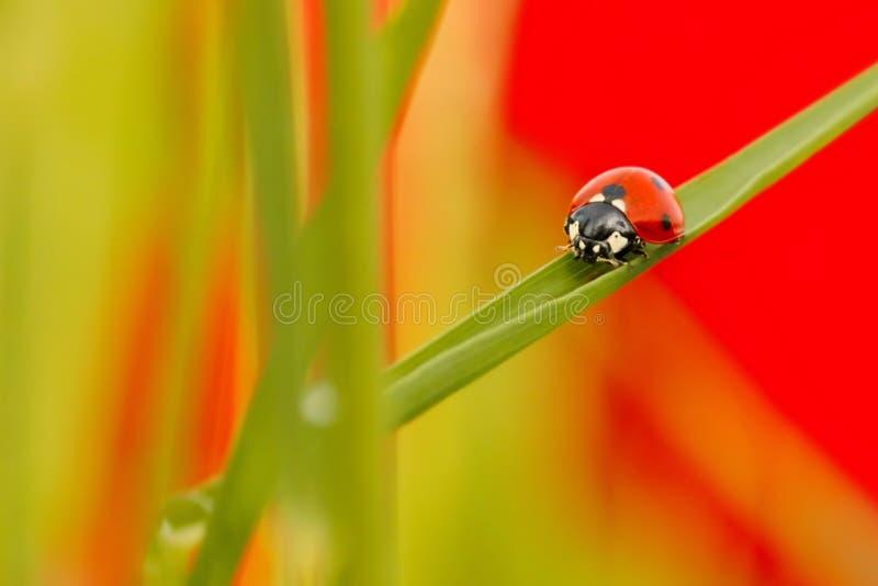 Ladybird Coccinella septempunctata punkt, ścigi odprowadzenie na ostrzu trawa, jako tło fotografia stock