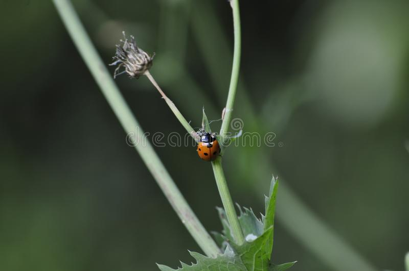 Ladybird in comely look on dandelion plant. Stunning ladybird with a vigorous look on dandelion plant. It looks so amazing and adds beauty to spring season royalty free stock photography