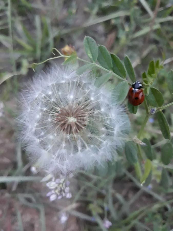 Ladybird con il fiore fotografia stock libera da diritti