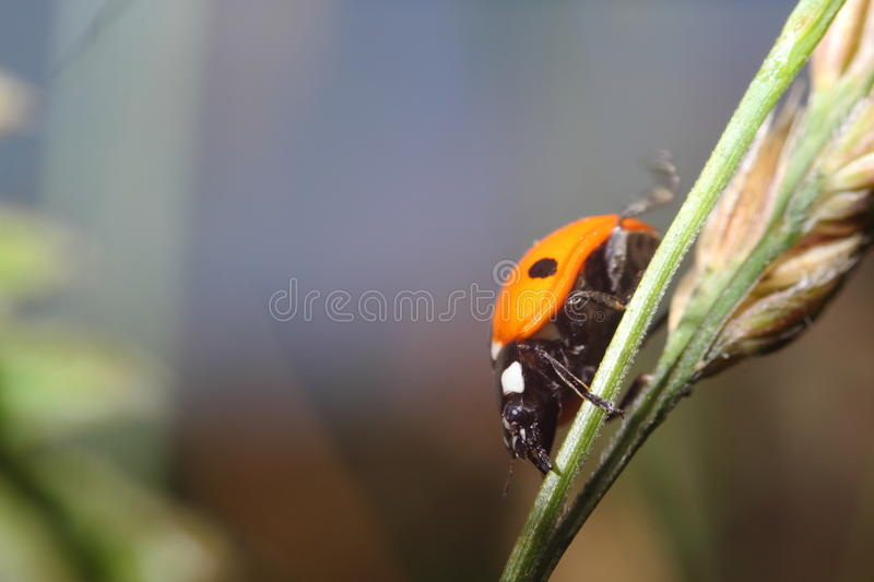 Ladybird on corn royalty free stock images