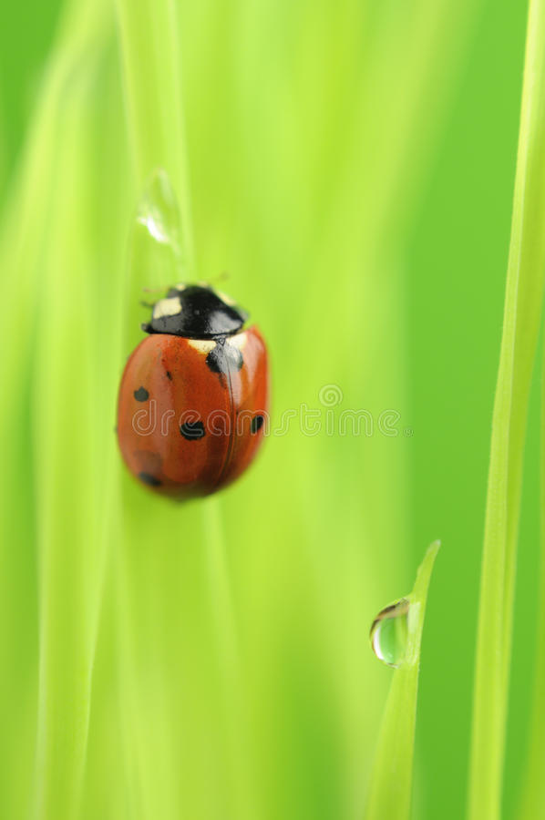 Download Ladybird Crawling On Green Grass With Rain Drops Stock Photo - Image: 22503196