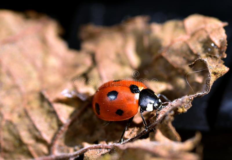 ladybird czarny czerwień fotografia stock