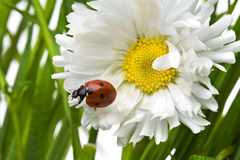 Ladybird in a daisy stock photos