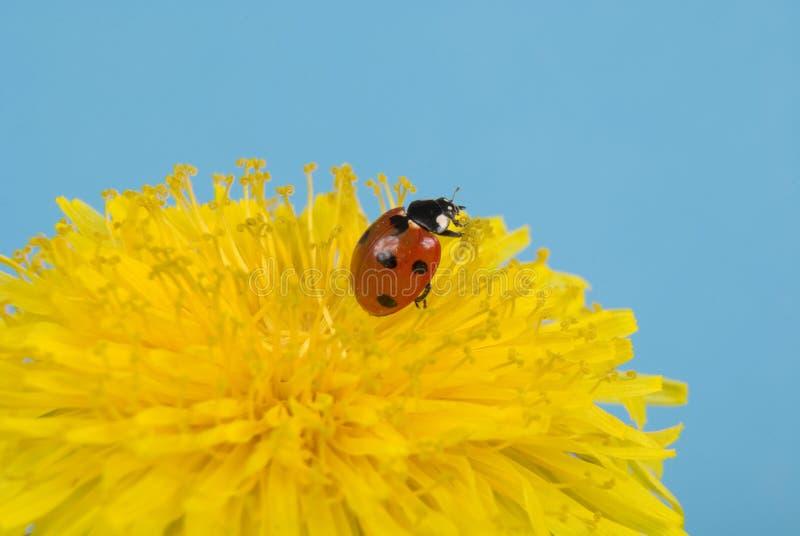 Ladybird on dandelion. Ladybird resting on yellow flower. Shallow DOF stock photos