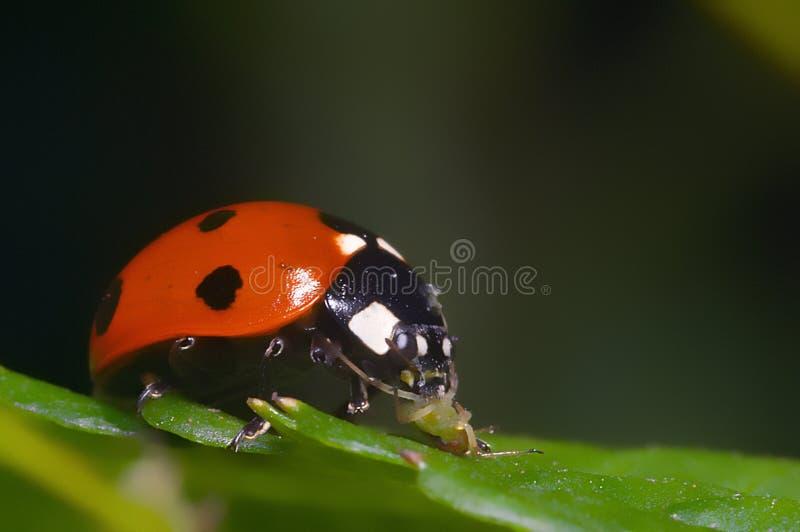Ladybird, eating greenfly. Macro portrait of the ladybug stock images