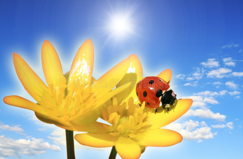 Ladybird on a flower stock images