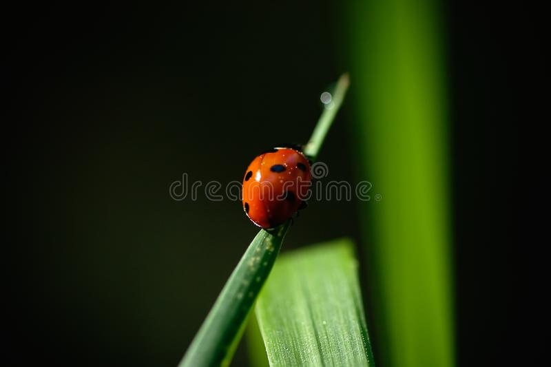 Ladybird on a grass steam royalty free stock photos