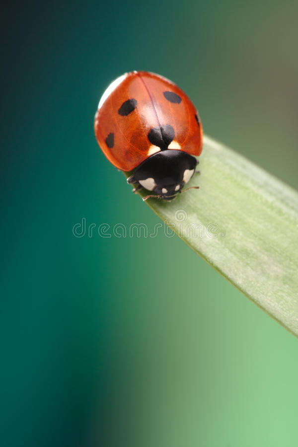 Ladybird On Green Leaf Royalty Free Stock Photos