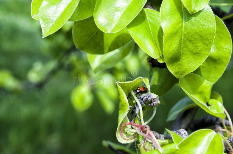 Ladybird hiding royalty free stock photography