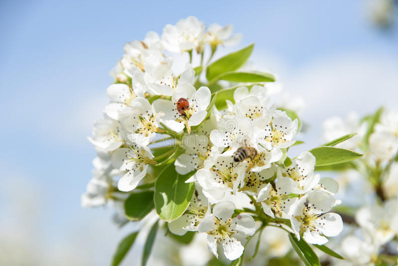 Ladybird and honey bee sharing pear flower and collecting nectar. stock photography