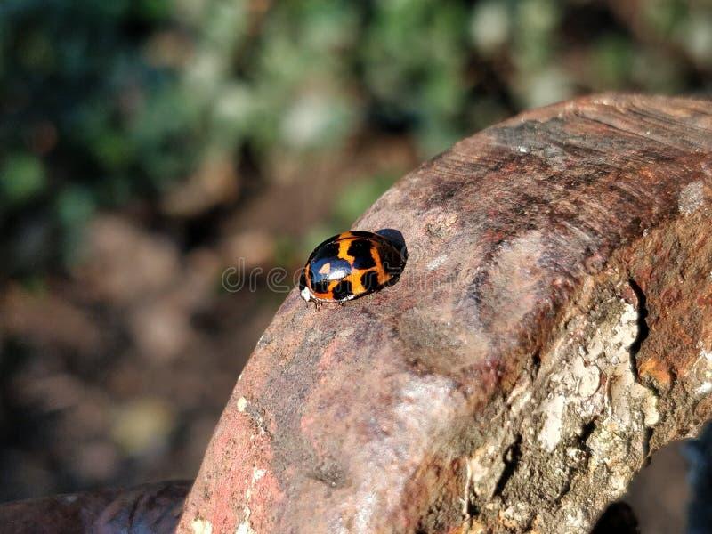 Ladybird jesieni metal zdjęcia royalty free
