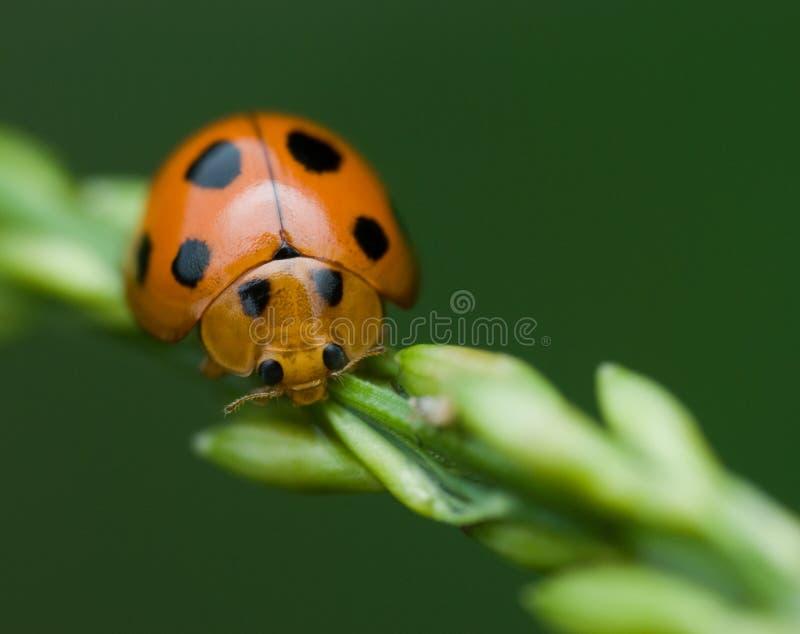 Download Ladybird/Ladybug macro stock image. Image of bush, aphid - 4532041