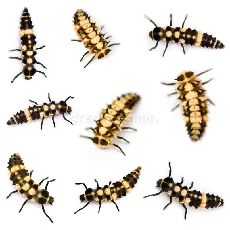 Ladybird larvae royalty free stock image