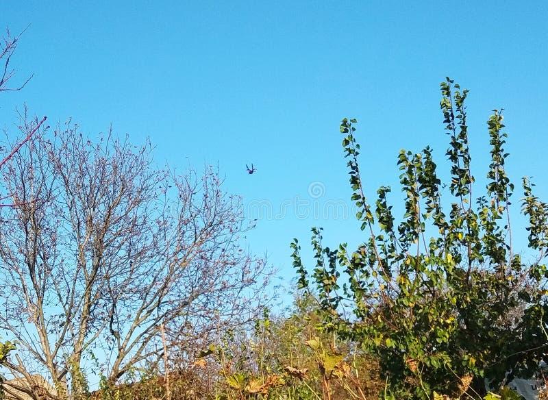 Ladybird latanie zdjęcie stock