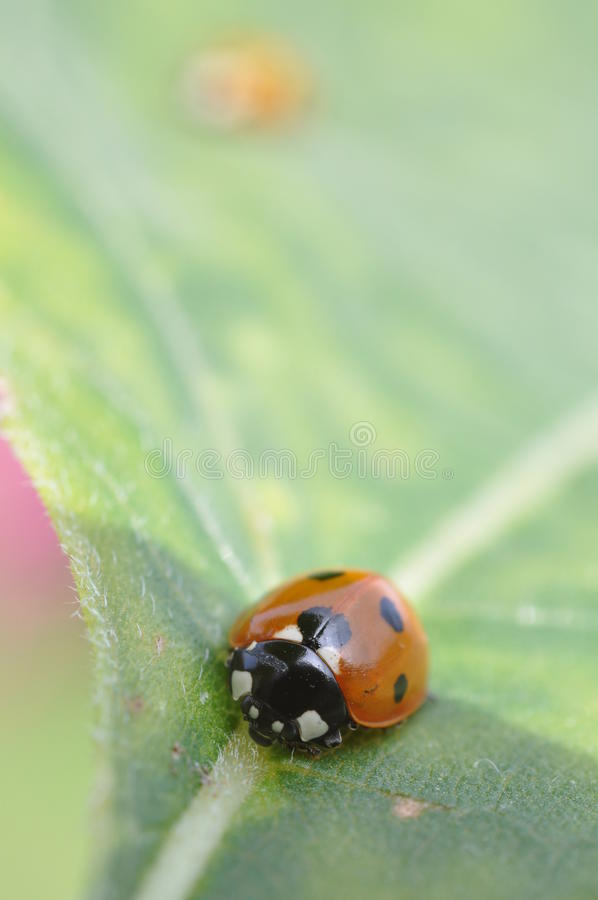 Download Ladybird on a leaf stock image. Image of insect, ladybird - 11627619