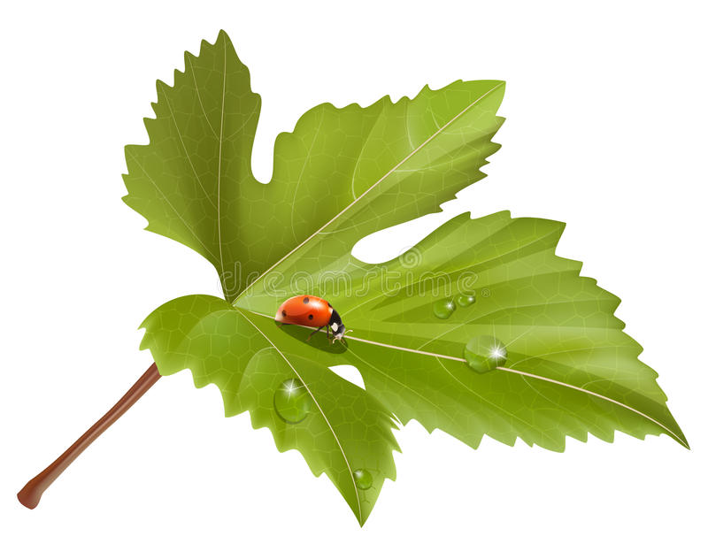 Ladybird on leaf with water drops. vector illustration