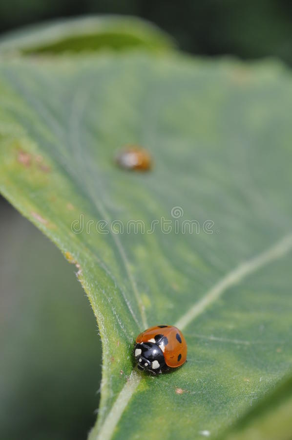 ladybird liść obraz stock