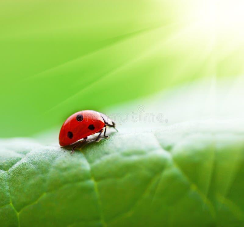ladybird liść fotografia stock