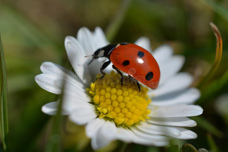 Download Ladybird stock image. Image of little, bleck, ladybird - 88047095