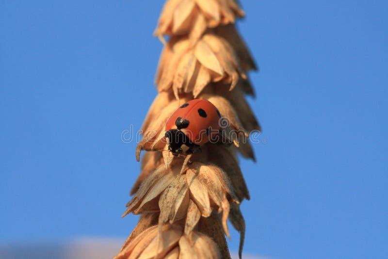 Ladybird menda na spikelet banatka obraz royalty free