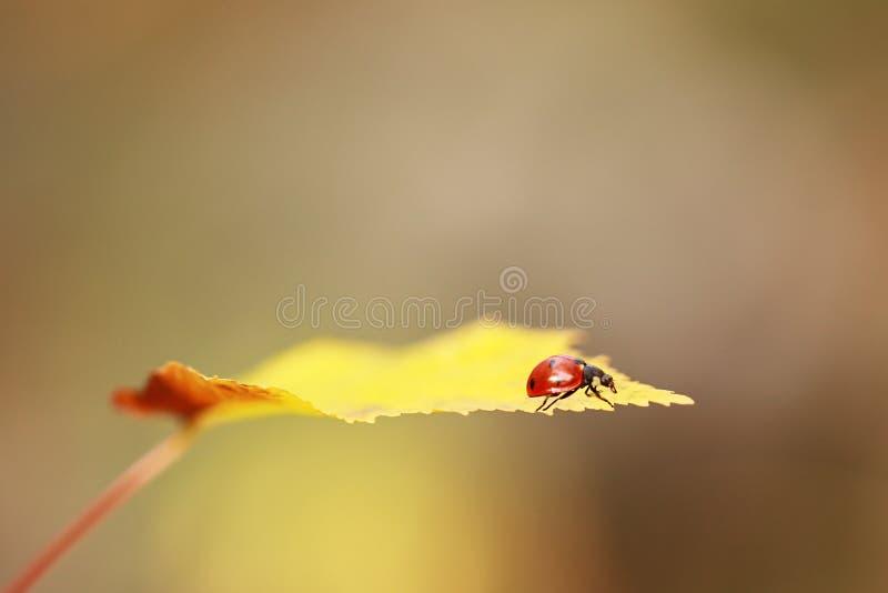 Ladybird na żółtym liściu obraz stock