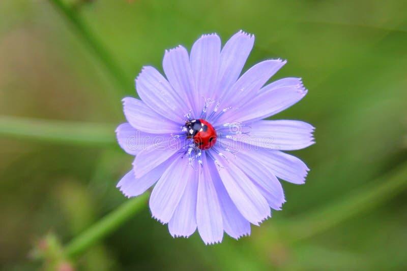 LADYBIRD NA BŁĘKITNYM kwiacie obrazy royalty free
