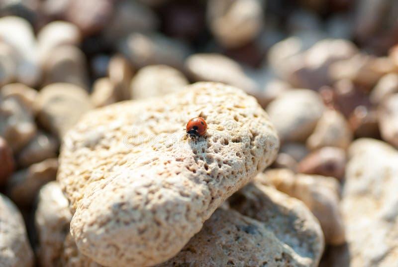 Ladybird na dennym kamieniu obrazy stock
